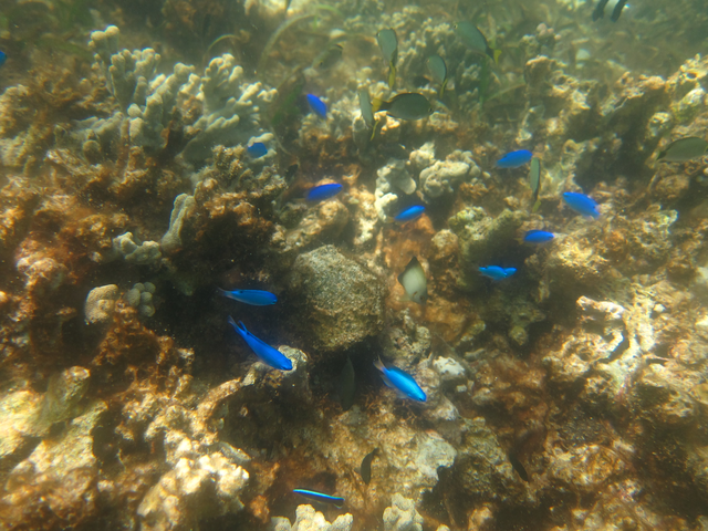 9 Blue Damselfish